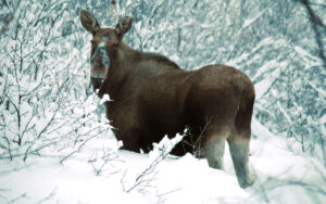 Huskysafari mit Nordlicht in Nord-Lappland