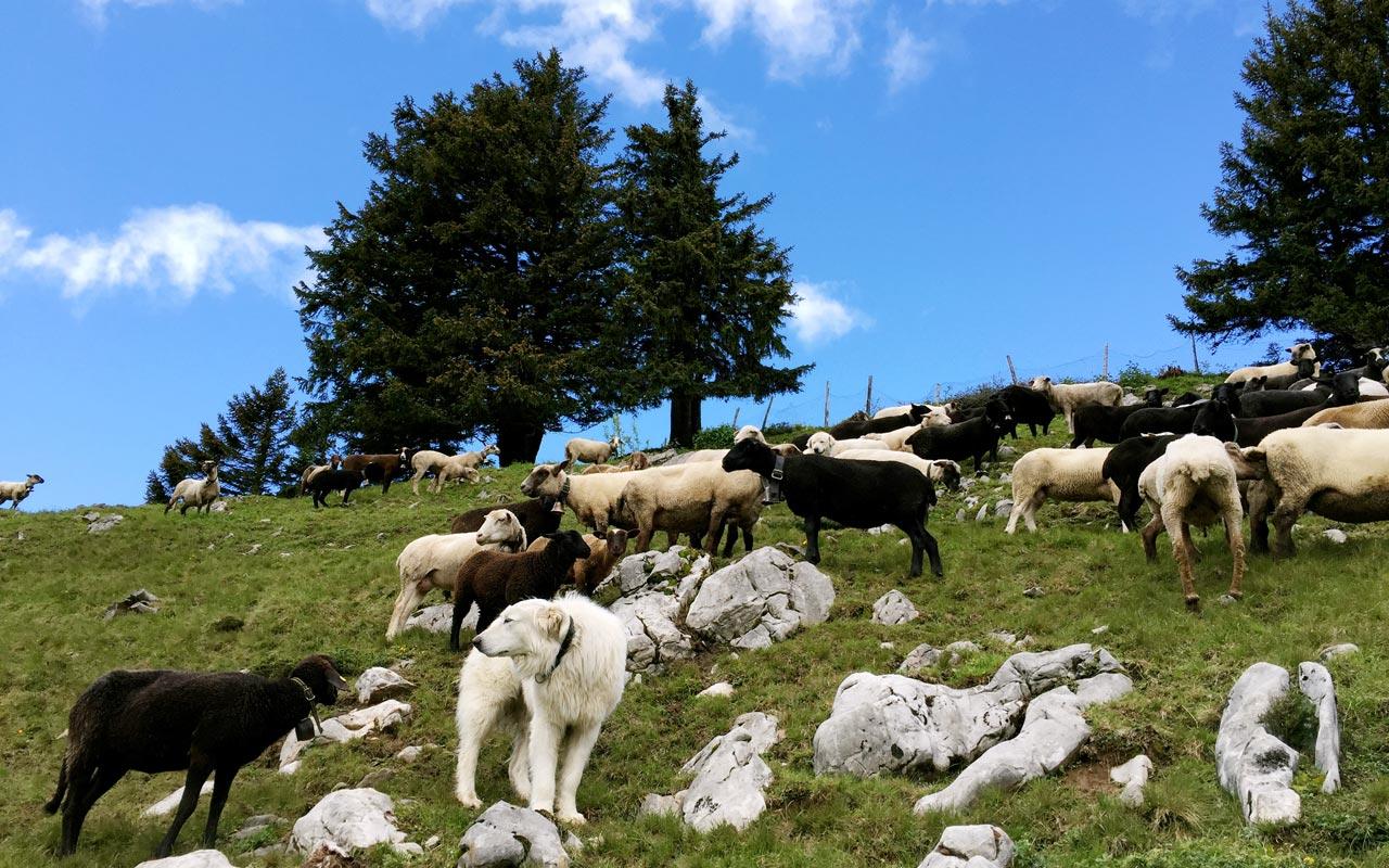 Begegnungen mit Herdenschutzhunden