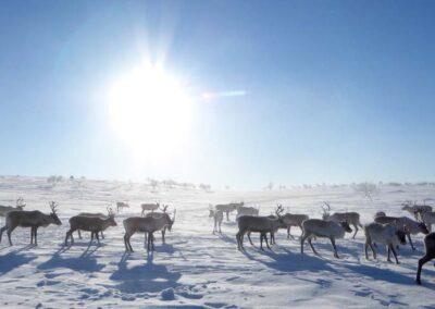 Outdoor-Aktivtitäten Lappland. Rentiere